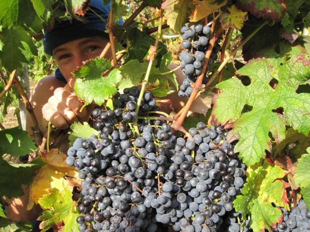 Me peering through some grapes