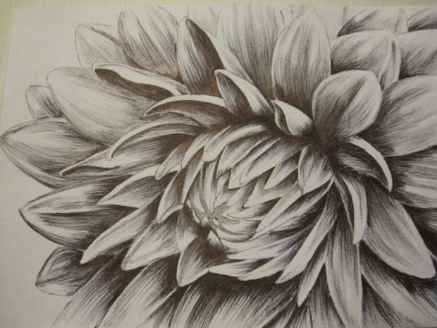 Pencil and pen drawing of a flower, by Liam O'Hanlon