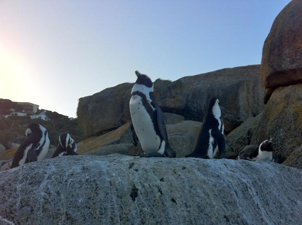 Penguins on boulder beach